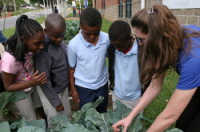 kids watch as adult pulls cabbage from a school garden